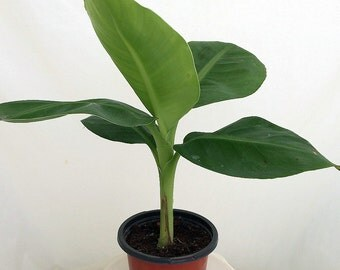 """Little Prince Banana Plant - Musa - Indoors or Out! - 4"""" Pot"""