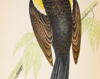 Red Winged Starling. Original 1800s Antique Bird Print by Reverend F. O. Morris