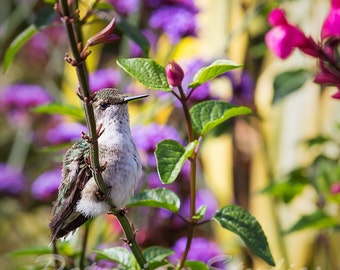 Ruby Throated Hummingbird, juvenile, I: A juvenile hummingbird among the flowers
