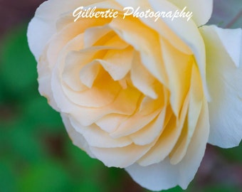 Yellow Rose Photo - Macro Photography - Floral Print - Rustic Decor - Gallery Wrap Canvas