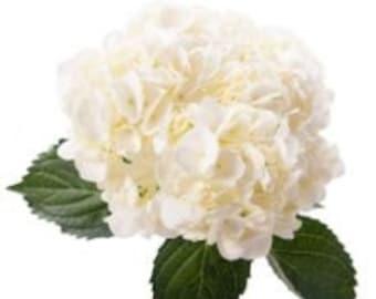 Fresh White hydrangea, Fresh Flowers, Real Flowers, Live Flowers, Cut Flowers, Wedding Flowers, White Flowers, Elegant Flowers, Table Flower