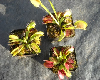 Venus Flytrap /Dionaea muscipula - Typical