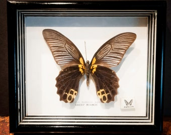 Genuine Preserved Female Great Mormon Butterfly