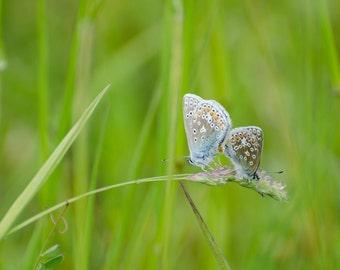 "Common Blue Butterflies - 16"" x 12"" Photographic Print"