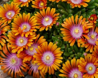 5 Evergreen Delosperma Fire Spinner™- Ice Plant - Five Live Evergreen Perennial Plants by Hope Springs