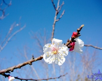 White Bossom photo/White Blossom and Blue sky/digital download/Australia/Flower photography/photo of a Blossom