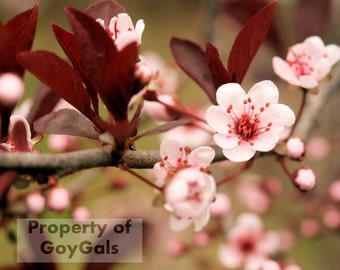 Cherry Blossoms in the Spring, Flower Photography