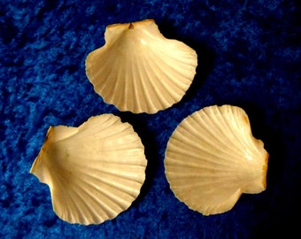 SCALLOP SHELLS.3 Large Scallop Shells.