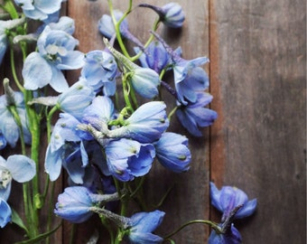 "Botanical art flower still life photography periwinkle blue brown rustic wood wall art print ""Blue Delphiniums"""