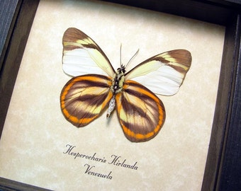 Real Framed Hesperocharis Hirlanda Tiger Butterfly 8294