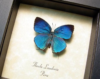 Real Rare Thecla Laudonia Metallic Blue Framed Butterfly 8303