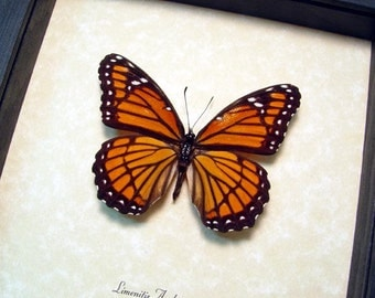 Real Framed Limenitis Archippus The Viceroy North America Butterfly 8339