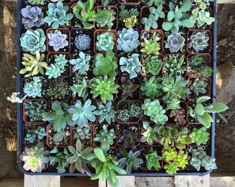 Sixty (60) Assorted potted Succulent Collection 2 inch plastic pots succulents great for wedding gifts & FAVORS~