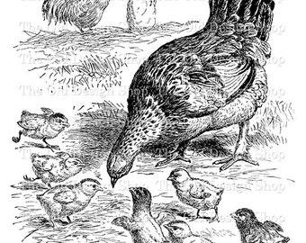 Chicken Chick Vintage Farm Animal Clip Art Digital Download Transfer Image
