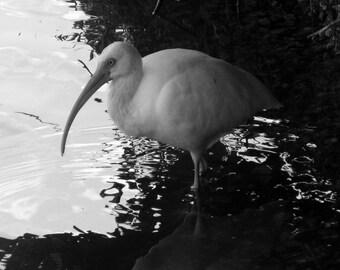 """Florida Bird Print 8""""x10"""" Print"""