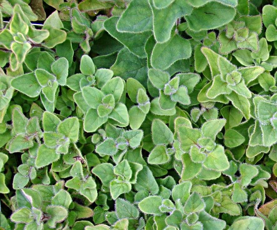 Greek Oregano Heirloom Herb Seeds Non GMO
