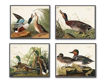 Vintage Audubon Duck Print Set No. 1, Giclee, Art Print, Coastal Decor, Vintage Bird Prints, Duck Prints, Audubon Bird Prints, Illustration