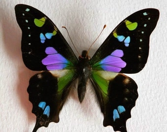 One Real Butterfly Pink Blue Purple Indonesian Graphium Weiskei Unmounted Insect Wings Closed Wholesale