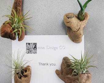 Driftwood Air Plant Magnets - Set of 4 - Organic Home Decor - Eco Friendly Wedding Favors