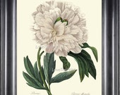 BOTANICAL PRINT Redoute Flower 8x10 Art Print 3 Beautiful White Peony Spring Large Blooming Plant Garden Nature to Frame Home Wall Decor