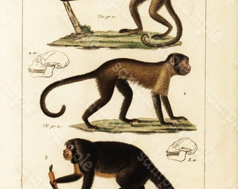 Original Antique Hand Colored Animals engraving from 1829 -  Monkeys - Apes -  Rare Print