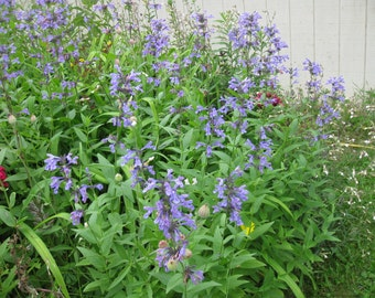 10 Nepeta Joanna Reed Catnip Catmint Perennial Herb Plants with Medicinal herbal uses of tea oils tinctures free Ship From my Organic farm