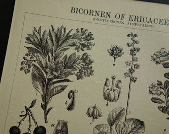 100+ years old botanical print - original 1907 antique floral - vintage pictures of plants and flowers flora strawberry tree red bilberry