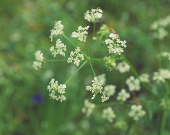 """Nature photography """"Cow Parsley"""", Irish photography, Queen Anne's Lace photo, botanical photography, green art print, spring flowers"""