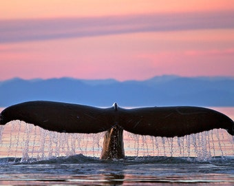 Humpback Fluke and Sunset (Art Prints available in multiple sizes)