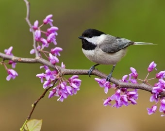 Black-Capped Chickadee (Art Prints available in multiple sizes)