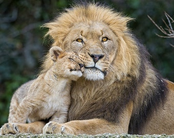 Lion and Cub Cuddle (Art Prints available in multiple sizes)