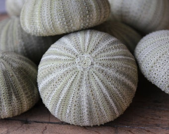 Green Sea Urchins Set of 12 -  Wholesale Seashells - Jewelry - Beach Wedding - Urchins
