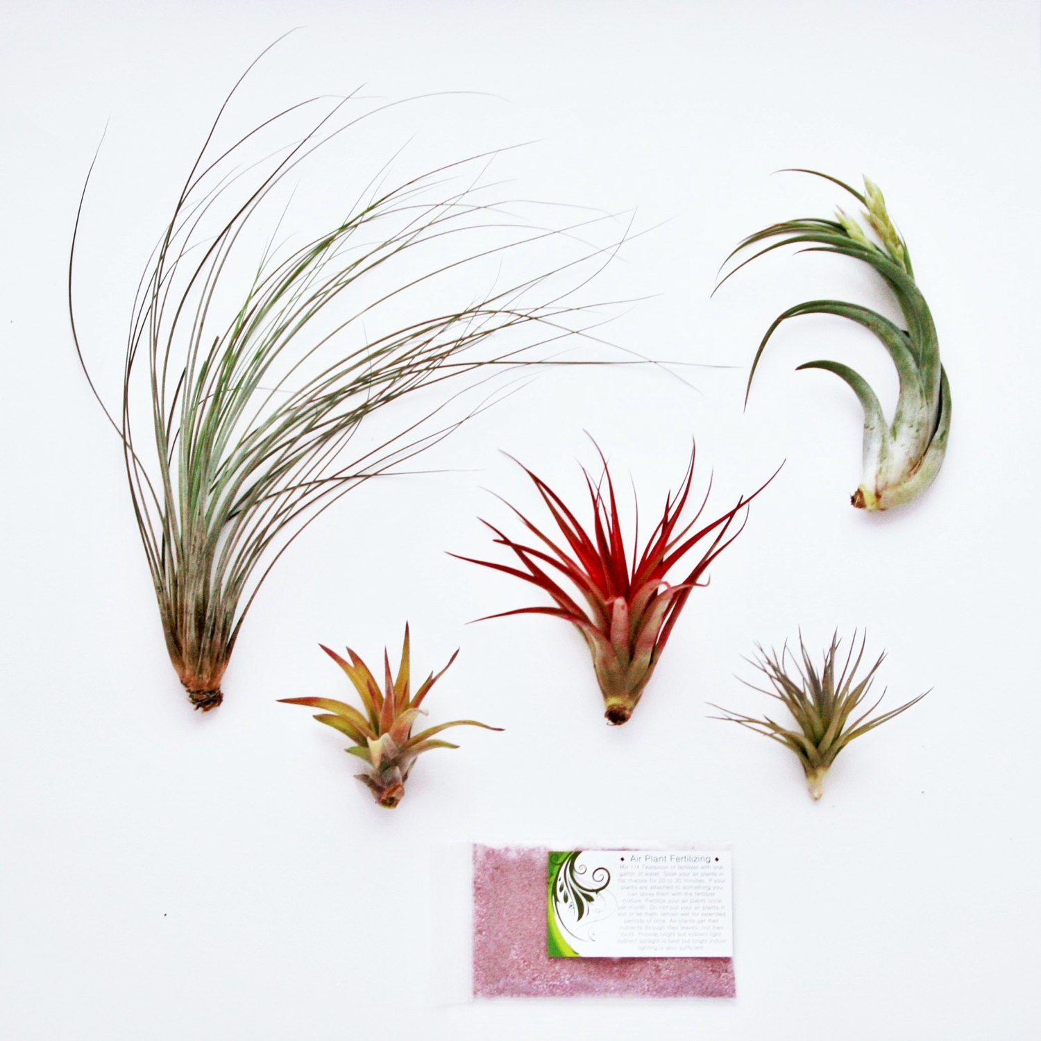 5 Pack Air Plant Elegant Collection Set Of 5 Plants