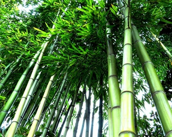BAMBOO Fine Art Photography, Bamboo photograph, green trees forest magestic serene photograph; Bamboo photo wall art 5x7 8x10 11x14 picture