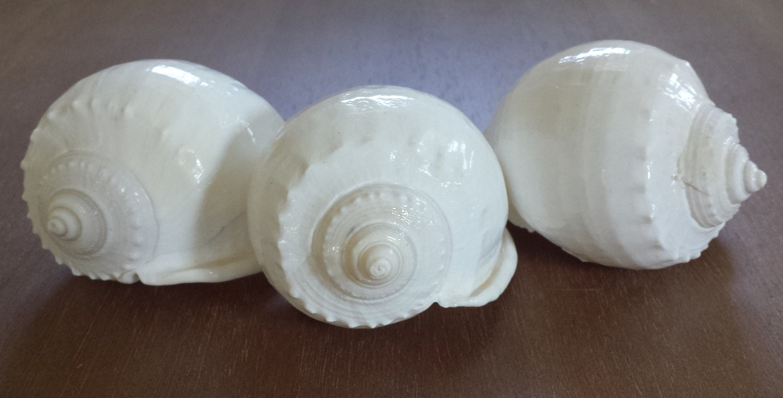 White shells 4 white seashells large white shell for Large seashells for crafts