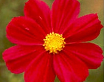 Cosmos- Dazzler(red), - 100 seeds