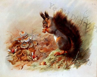 Vintage 1921 Red Squirrel illustration by Archibald Thorburn - Enhanced Digital Print, Scrapbooking Clip Art , Paper Crafting