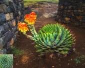 African Spiral Aloe ~ Aloe Polyphylla ~ RARE Succulent ~ 5 Seeds ~ Amazing Cacti ~