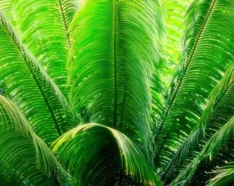 The Royal Palm. Nature photography to decorate your home