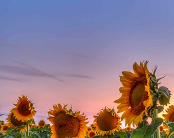 Photo Art - Photography - Sunflowers