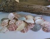 40 Pectin Shells - Scallop Shells Bulk Seashells for Crafts and Creative Projects - Nautical and Coastal Home Decor - Wedding Seashells