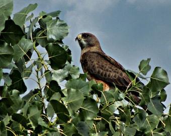 Majestic Red-Tail Hawk