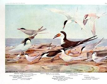 Vintage 1936 Bird Print Terns - Fuertes - P7