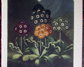 Vintage Mountain Cowslip Flower Print 1938