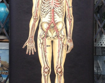 1940s Skeletal System Chalk Plate Anatomical Chart Rudolph Schick