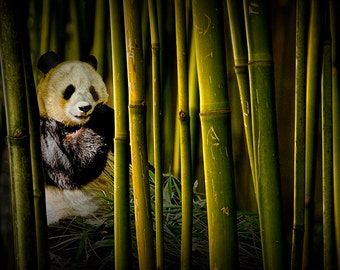 Chinese Panda Bear among the Bamboo Trees in the San Diego Zoo No.0496 Wildlife Nature Landscape Photography