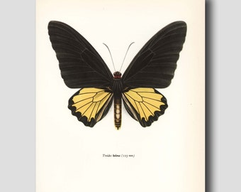"Unqiue Home Wall Decor, Butterfly Print (Vintage Charcoal Grey and Yellow Wall Art) 1960s ""Helena Birdwing""  No. 62-1"