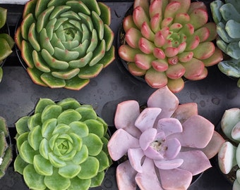 Succulent Plants in Pots.  You Choose 4 Small Plants shipped in pots