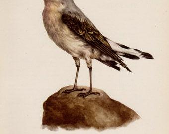 Vintage Bird Print Nature Decor Wheatear Bird Gallery Wall Art Home Office Decor Gift for Bird Enthusiast Lover #2770