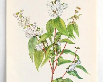 Vintage Botanical Flower Print - Bookplate Plant  Illustration - White Flower